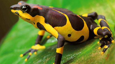 saving-one-of-the-world's-rarest-toads-from-extinction