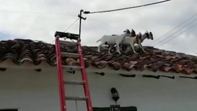 Photo of ICYMI: Roof-trotting goats and Super Mario