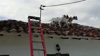 icymi:-roof-trotting-goats-and-super-mario