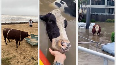 australia-floods:-cows-rescued-from-swollen-rivers-and-beaches