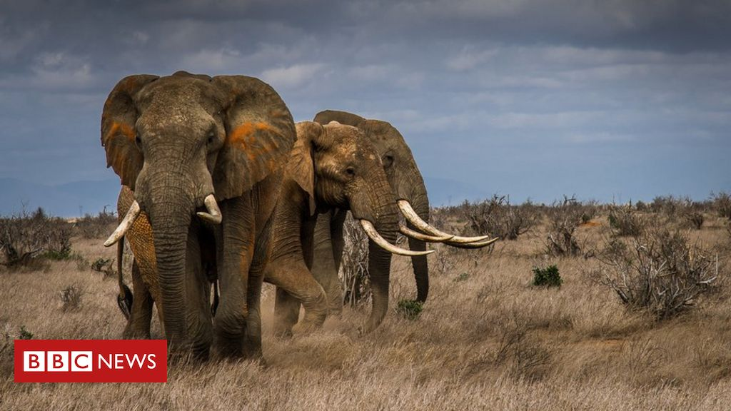 extinction:-elephants-driven-to-the-brink-by-poaching