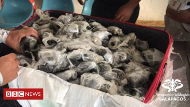 Photo of Galápagos tortoises: 185 babies seized from smugglers