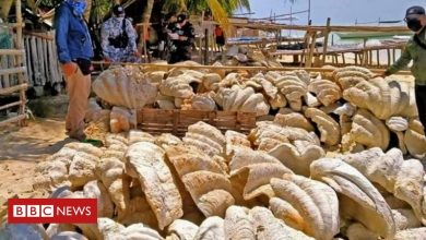 Photo of Philippines: Giant clam shells worth $25m seized in raid