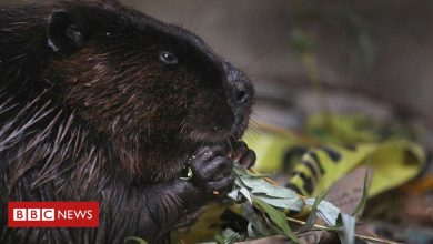Photo of Canadian beavers chomp down town's internet