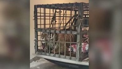 Photo of Siberian tiger roams around Chinese village