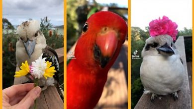 Photo of Birds of Oz: The charming natives that found TikTok fame