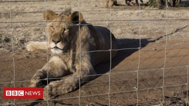 Photo of South Africa to ban lion breeding for cub petting