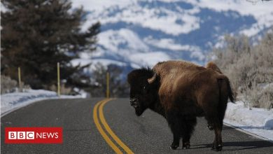 Photo of Grand Canyon lottery to kill bison gathers 45,000 entries