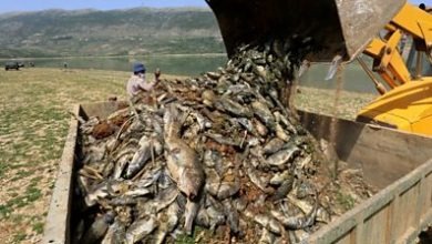 Photo of Mystery of why thousands of fish have died in Lebanese lake