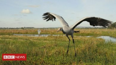 Photo of Cranes: Flying giant returning to Ireland after 300 years