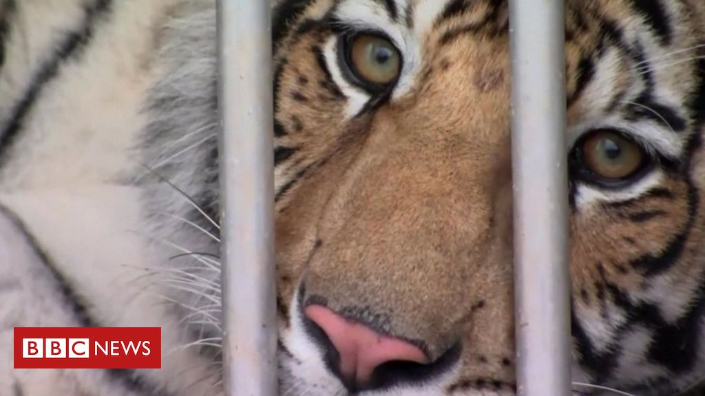 houston-tiger:-animal-missing-for-a-week-located