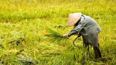 Photo of Could an app help protect Vietnam's paddy fields?