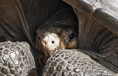 galapagos-tortoise-found-alive-is-from-a-species-thought-extinct-since-1906
