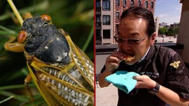 Photo of Cicadas: The US chef cookingup the insect 'flavour bombs'