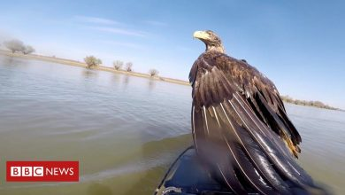 Photo of Kayakers save pair of eagles drowning in Danube river