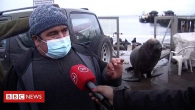Photo of Sea lion opens gate to crash fisherman's interview about a 'plague of sea lions'