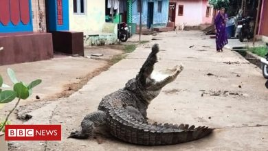 Photo of Strolling crocodile sparks panic in India village