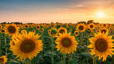 Photo of Russian export duty for sunflower seeds comes into effect