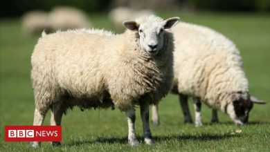 Photo of NZ farmer convicted for animal neglect after 226 sheep are euthanised