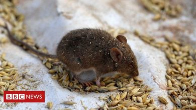 Photo of Australia mice plague: How farmers are fighting back