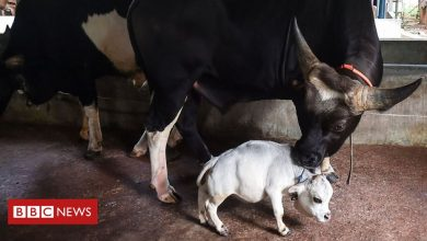 Photo of Dwarf cow Rani finds fame in Bangladesh