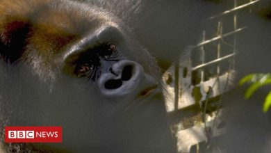 Photo of Joshi is swapping life in captivity for a new start in the jungle