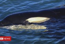 Photo of Baby orca, Toa, dies in New Zealand after failed search for mother