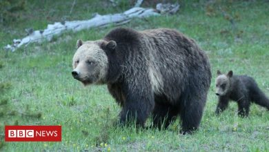 Photo of Woman charged for disturbing Yellowstone mother grizzly