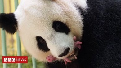 Photo of Giant panda twins born in French zoo