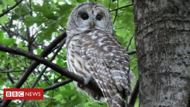 Photo of Famous Central Park owl killed in crash with truck