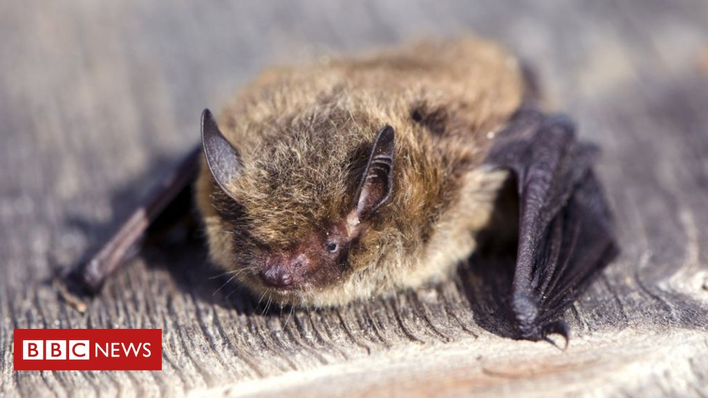 bat-killed-by-cat-after-record-1,200-mile-journey