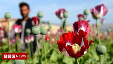 Photo of Afghanistan: How much opium is produced and what's the Taliban's record?