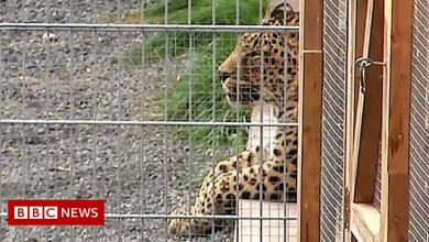 Photo of Leopard attacks model in German photoshoot