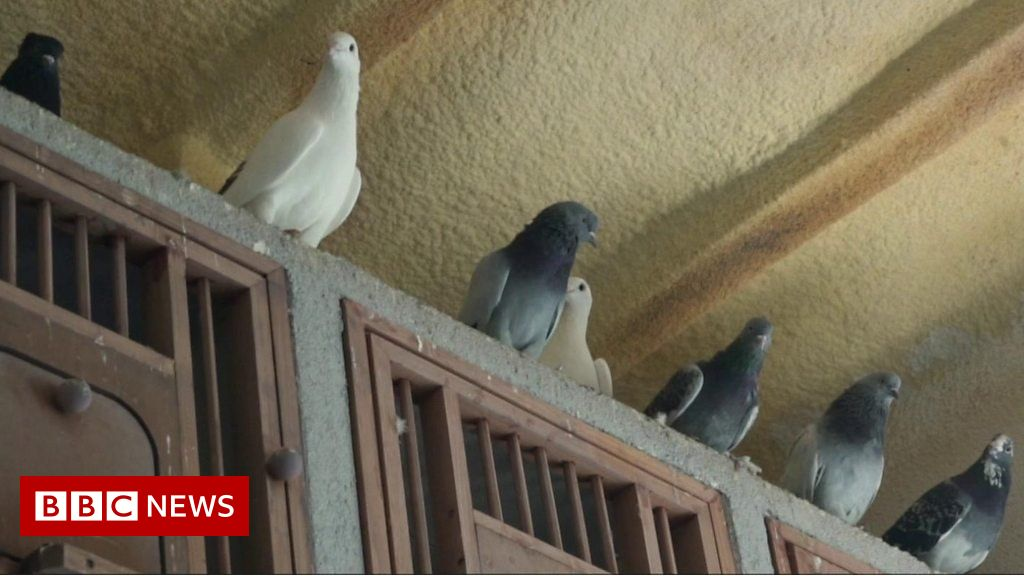 turkey-lockdown:-pigeon-keeping-in-istanbul-on-the-rise