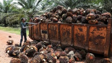 Photo of Rats, drought and labour shortages eat into global edible oil recovery